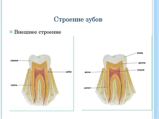 Строение зубов Внешнее строение Внутреннее строение