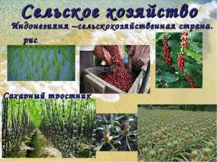 Сельское хозяйство Индонезияня –сельскохозяйственная страна. рис кофе Сахарны