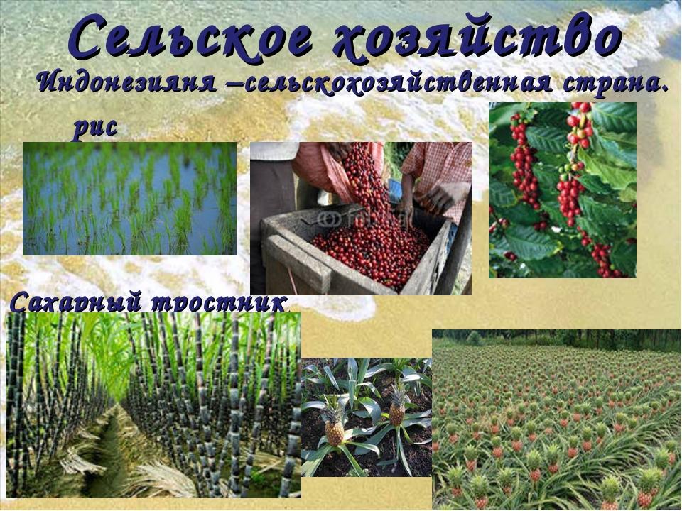 Сельское хозяйство Индонезияня –сельскохозяйственная страна. рис кофе Сахарны...