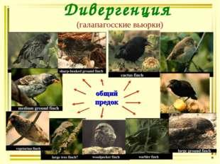 Дивергенция (галапагосские вьюрки) общий предок