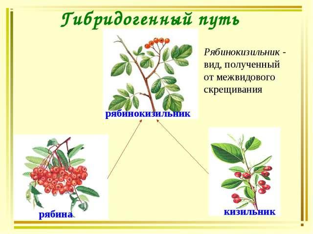 Гибридогенный путь рябинокизильник рябина кизильник Рябинокизильник - вид, по...