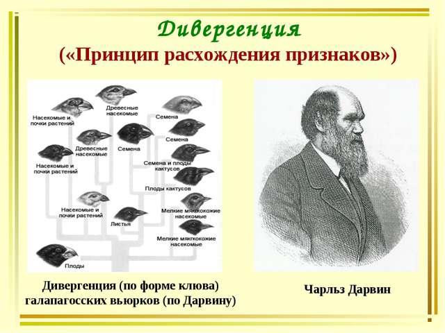 Дивергенция («Принцип расхождения признаков») Чарльз Дарвин Дивергенция (по ф...