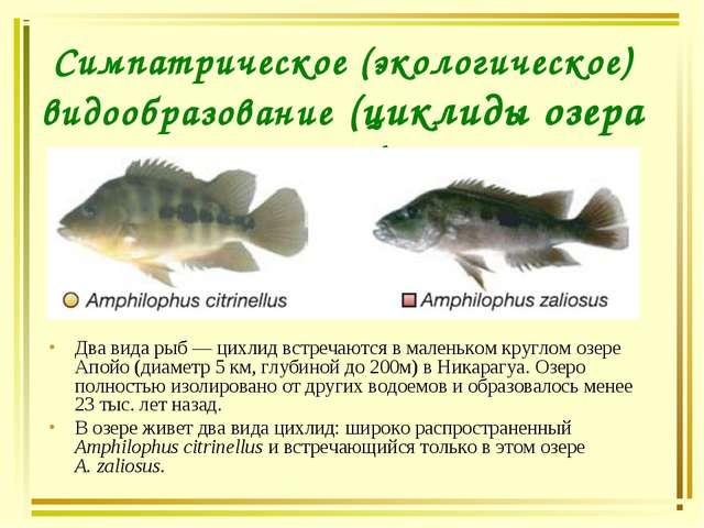 Симпатрическое (экологическое) видообразование (циклиды озера Апойо). Два вид...