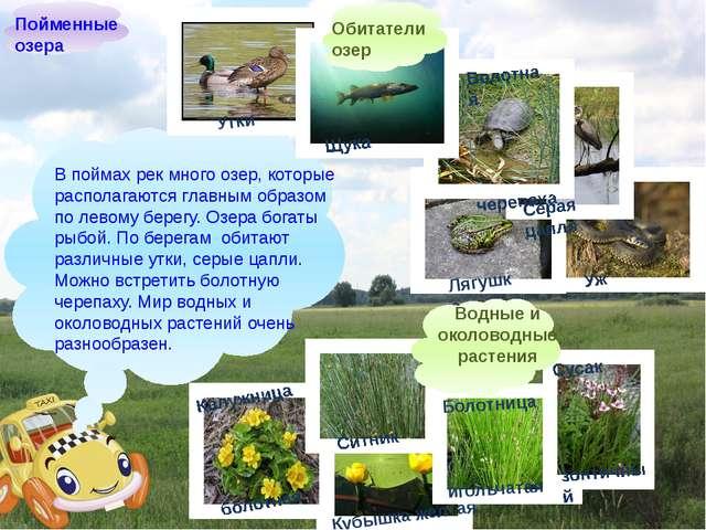 В поймах рек много озер, которые располагаются главным образом по левому бер...