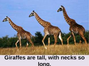 Giraffes are tall, with necks so long.