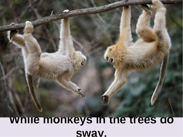 While monkeys in the trees do sway.