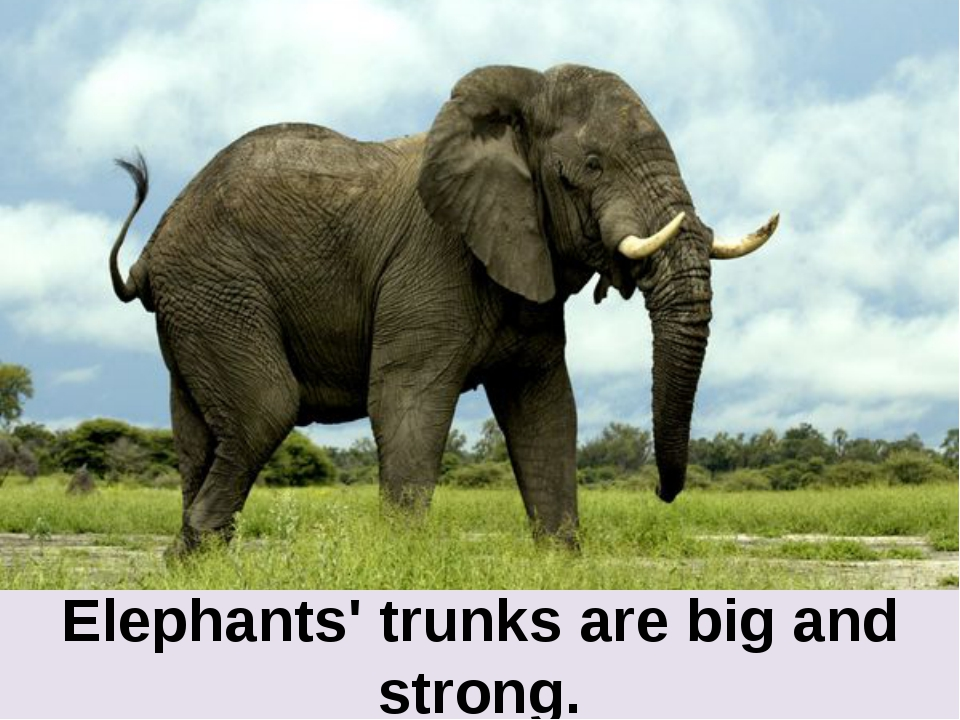 Elephants' trunks are big and strong.