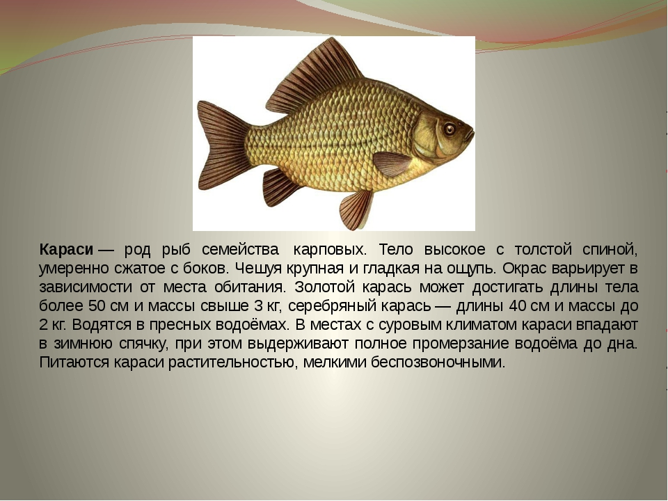 Караси— род рыб семейства карповых. Тело высокое с толстой спиной, умеренно...