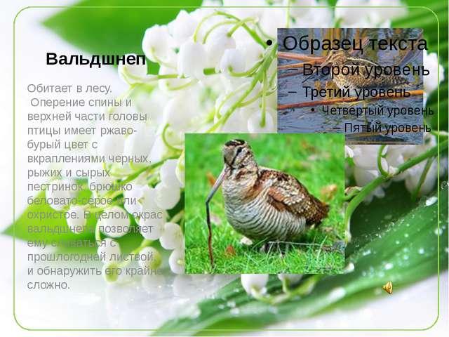 Вальдшнеп Обитает в лесу. Оперение спины и верхней части головы птицы имеет...