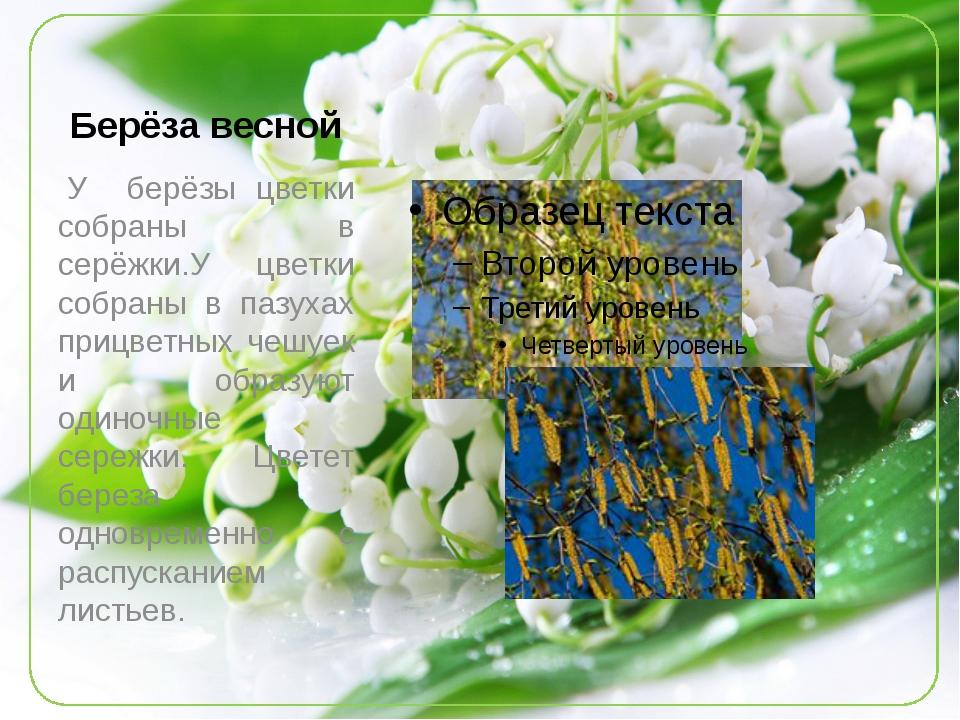 Берёза весной У берёзы цветки собраны в серёжки.У цветки собраны в пазухах п...