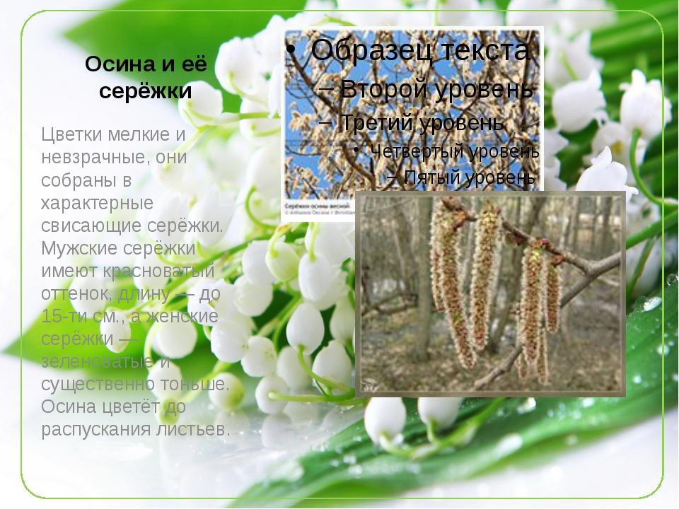 Осина и её серёжки Цветки мелкие и невзрачные, они собраны в характерные свис...