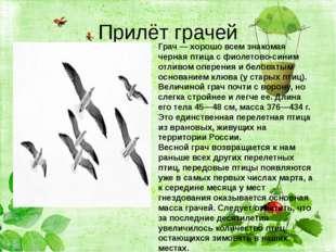 Прилёт грачей Грач— хорошо всем знакомая черная птица с фиолетово-синим отл