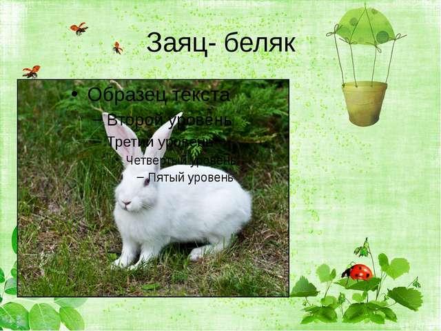 Заяц- беляк