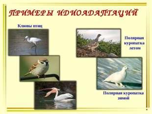 ПРИМЕРЫ ИДИОАДАПТАЦИЙ Клювы птиц Полярная куропатка летом Полярная куропатка