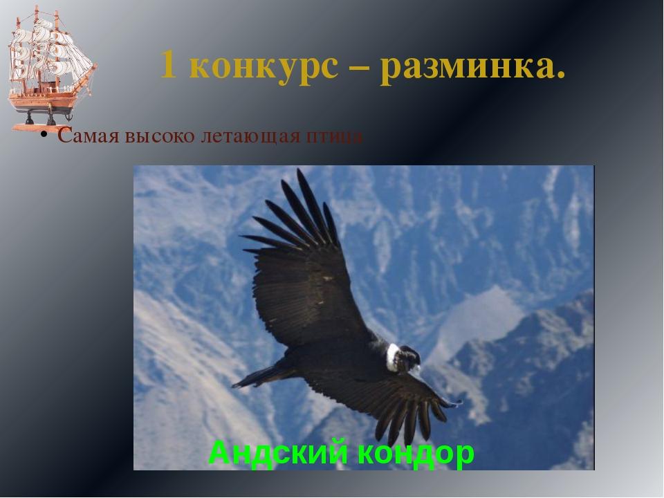 1 конкурс – разминка. Самая высоко летающая птица Андский кондор