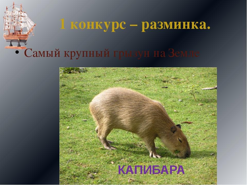1 конкурс – разминка. Самый крупный грызун на Земле КАПИБАРА