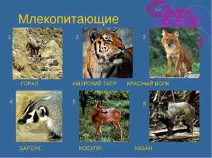 ГОРАЛ АМУРСКИЙ ТИГР КРАСНЫЙ ВОЛК БАРСУК КОСУЛЯ КАБАН 1 2 3 4 5 6 Млекопитающие