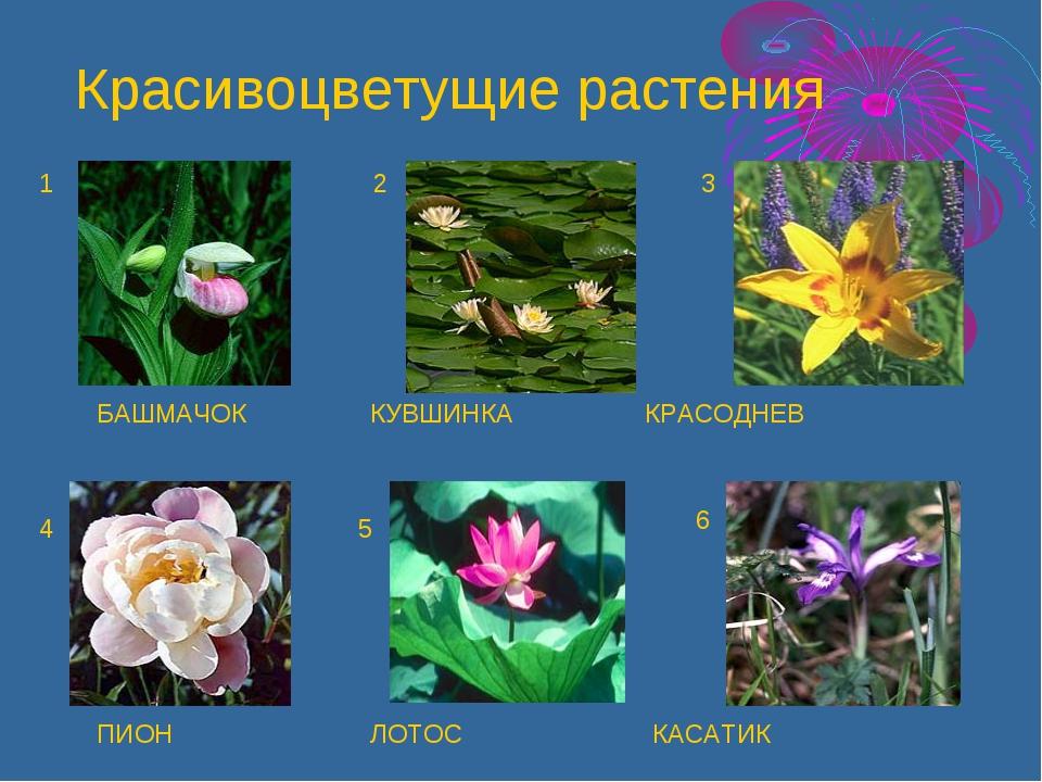 БАШМАЧОК КУВШИНКА КРАСОДНЕВ ПИОН ЛОТОС КАСАТИК 1 2 3 4 5 6 Красивоцветущие ра...