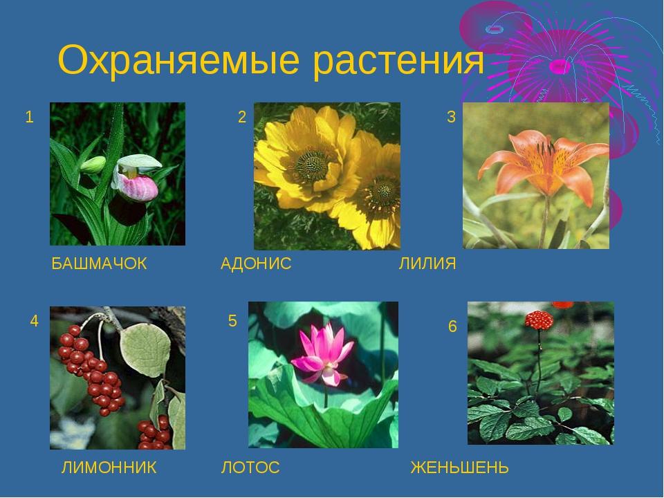 БАШМАЧОК АДОНИС ЛИЛИЯ ЛИМОННИК ЛОТОС ЖЕНЬШЕНЬ 1 2 3 4 5 6 Охраняемые растения
