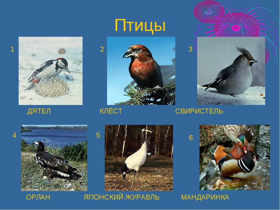 ДЯТЕЛ КЛЁСТ СВИРИСТЕЛЬ ОРЛАН ЯПОНСКИЙ ЖУРАВЛЬ МАНДАРИНКА 1 2 3 4 5 6 Птицы