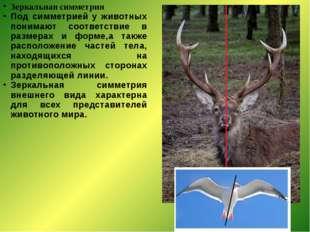 Зеркальная симметрия Под симметрией у животных понимают соответствие в размер