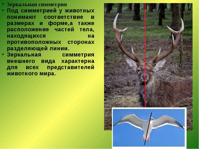 Зеркальная симметрия Под симметрией у животных понимают соответствие в размер...