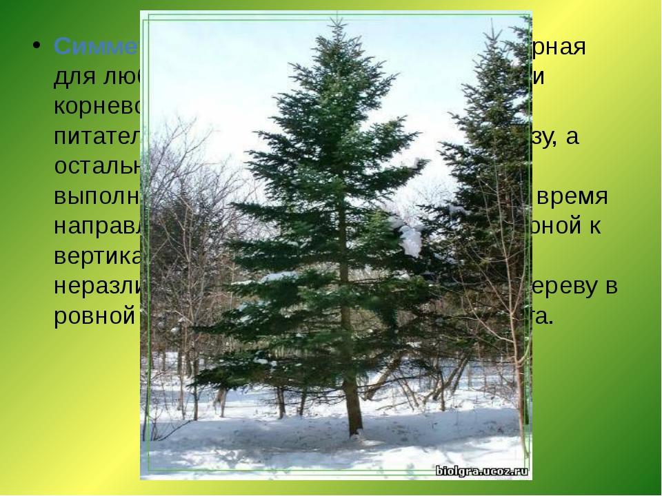 Симметрия конуса- симметрия, характерная для любых деревьев. Дерево при помощ...