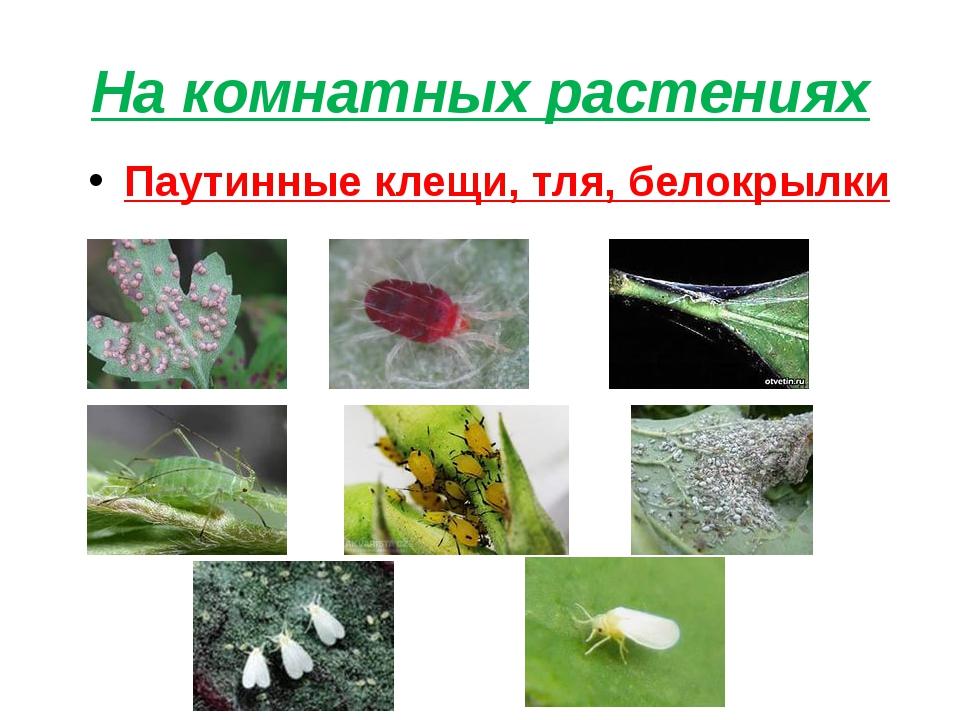 На комнатных растениях Паутинные клещи, тля, белокрылки
