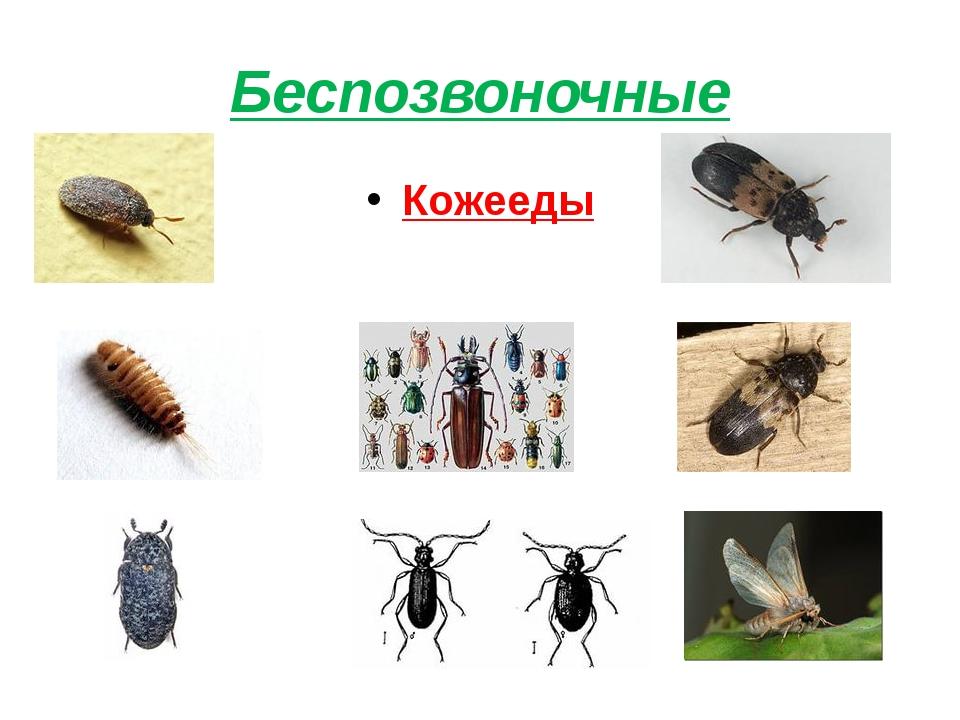 Беспозвоночные Кожееды