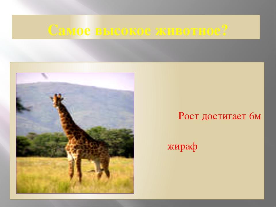 Самое высокое животное? Рост достигает 6м жираф