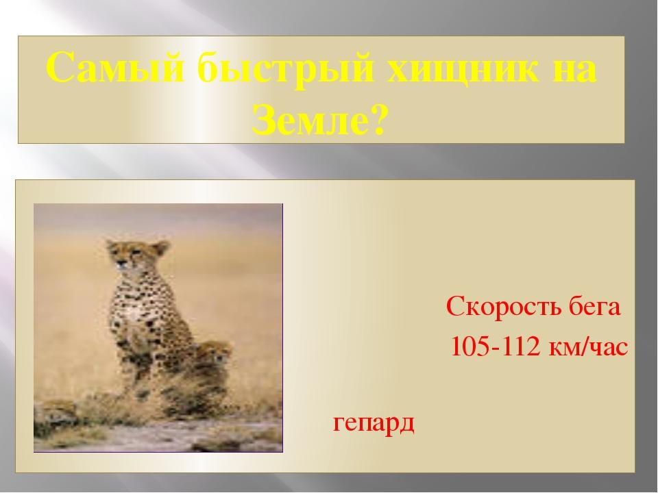 Самый быстрый хищник на Земле? Скорость бега 105-112 км/час гепард