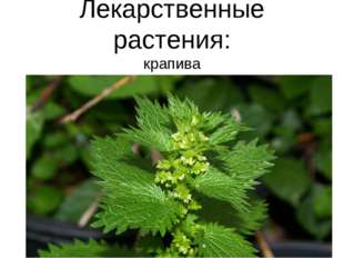 Лекарственные растения: крапива