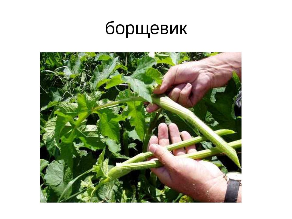 борщевик