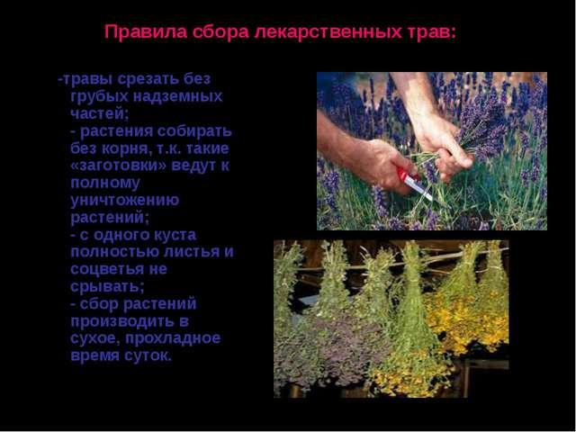 Правила сбора лекарственных трав: -травы срезать без грубых надземных частей;...