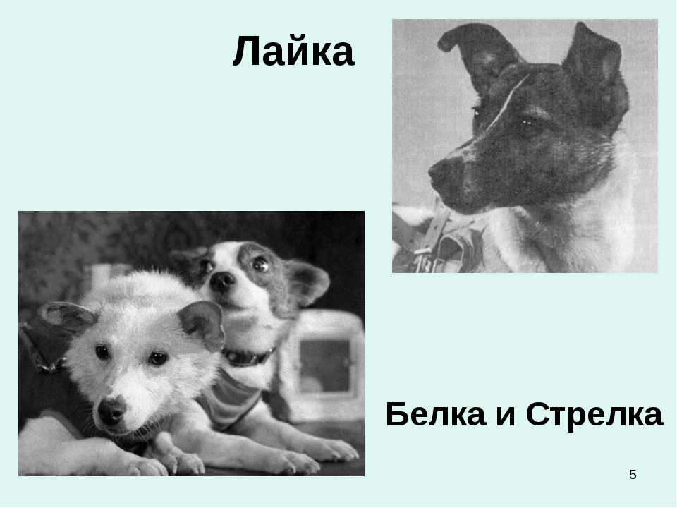 * Лайка Белка и Стрелка