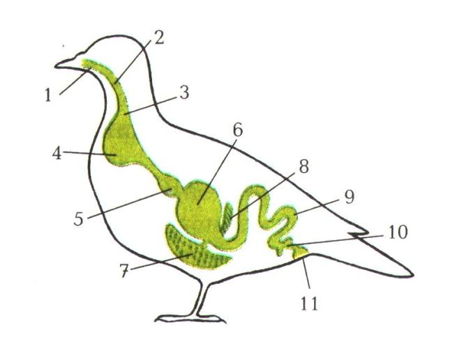 K:\5 Новая папка к урокам БИОЛОГИИ 2011 год\Урок №45 Внутреннее строение птиц\Внутреннее строение птиц\0007-010-Pischevaritelnaja-sistema.jpg