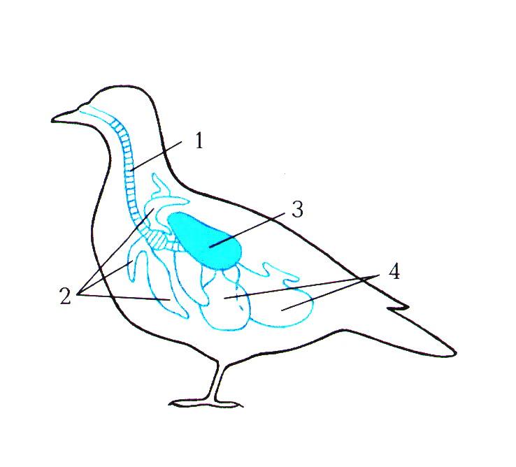 K:\5 Новая папка к урокам БИОЛОГИИ 2011 год\Урок №45 Внутреннее строение птиц\Внутреннее строение птиц\0008-011-Dykhatelnaja-sistema-ptits.jpg