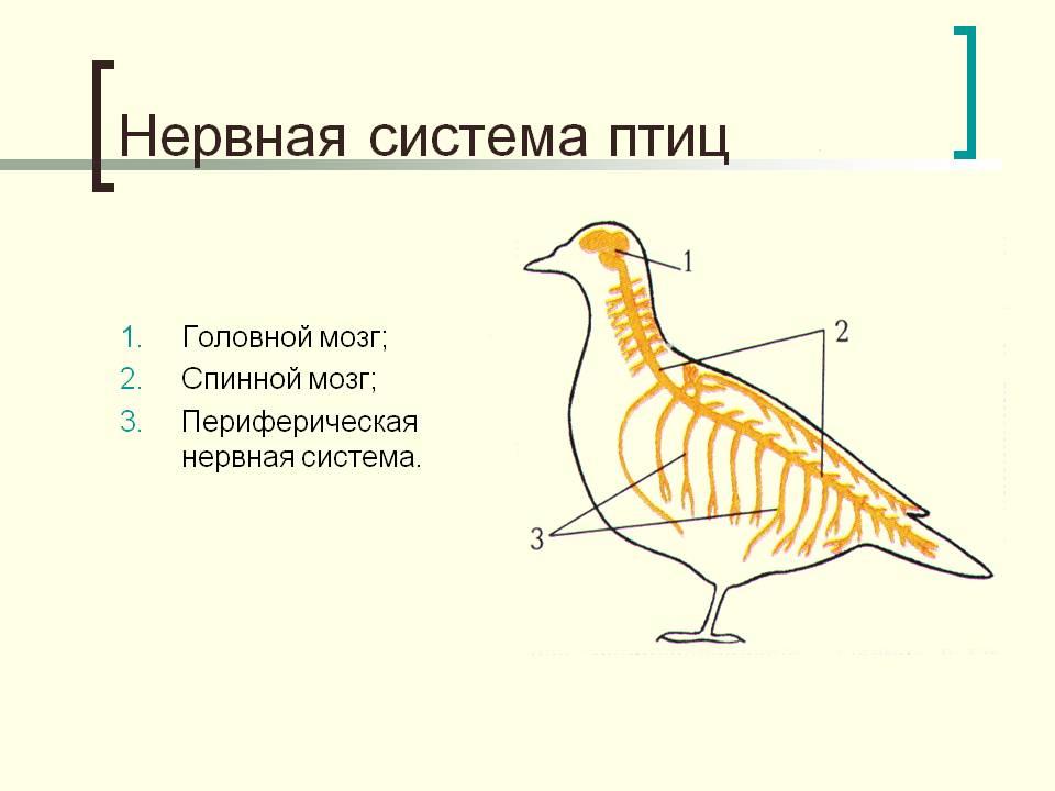 K:\5 Новая папка к урокам БИОЛОГИИ 2011 год\Урок №45 Внутреннее строение птиц\Внутреннее строение птиц\0010-010-Nervnaja-sistema-ptits.jpg