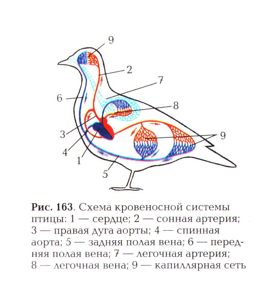 K:\5 Новая папка к урокам БИОЛОГИИ 2011 год\Урок №45 Внутреннее строение птиц\Внутреннее строение птиц\0009-012-Krovenosnaja-sistema-ptits.jpg