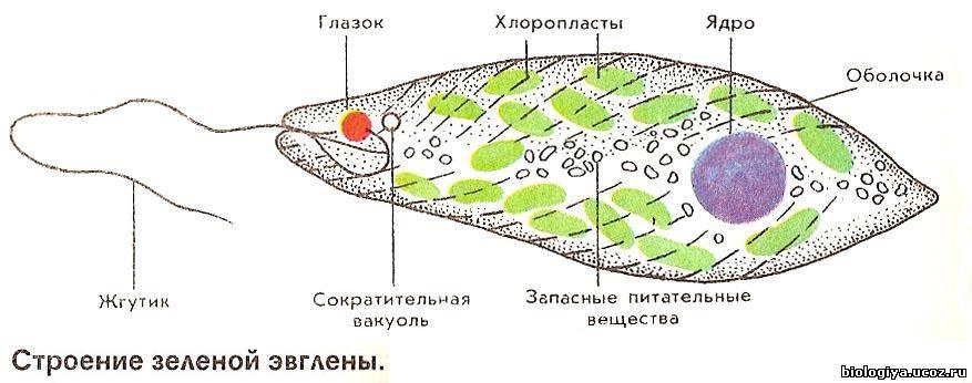 H:\2010-2011 учебный год\Новая папка К УРОКАМ БИОЛОГИЯ\7 класс Биология\Урок № 9 Класс Жгутиконосцы\954534086.jpg