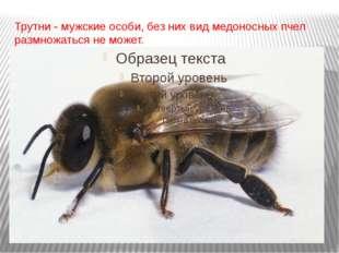Трутни - мужские особи, без них вид медоносных пчел размножаться не может.
