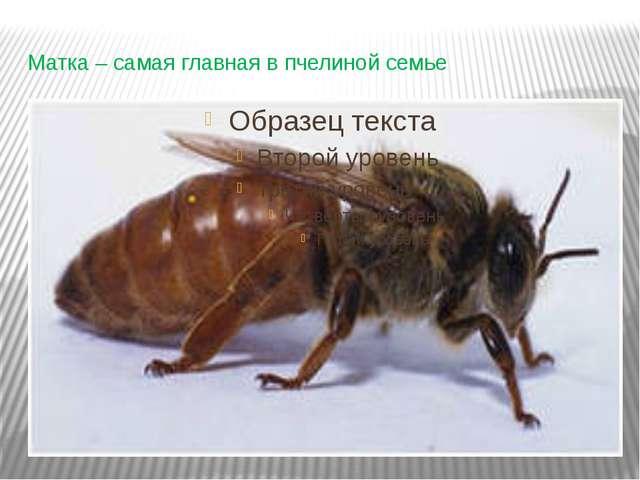 Матка – самая главная в пчелиной семье