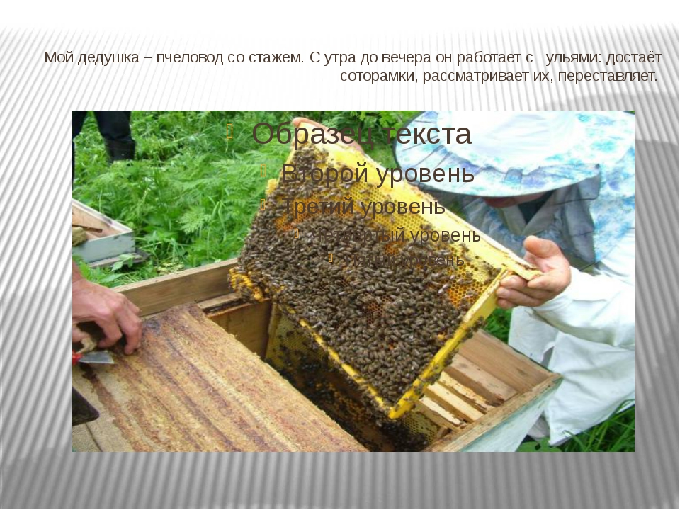 Мой дедушка – пчеловод со стажем. С утра до вечера он работает с ульями: дост...