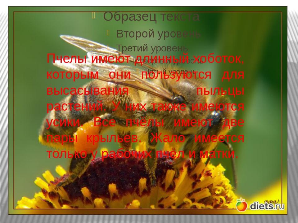 Пчелы имеют длинный хоботок, которым они пользуются для высасывания пыльцы ра...