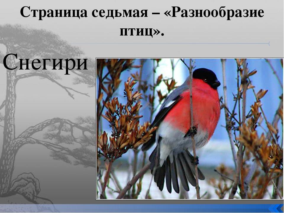 Страница седьмая – «Разнообразие птиц». Снегири