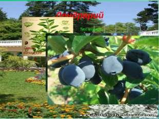 Дендрарий Самшит колхидский Тисс ягодный жимолость