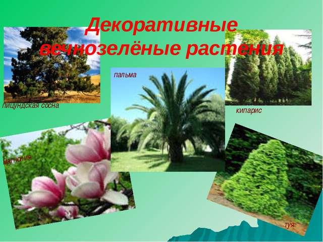 пицундская сосна кипарис магнолия туя пальма Декоративные вечнозелёные растения