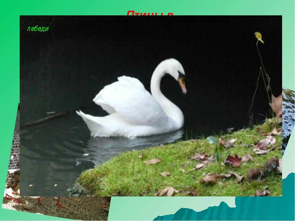 Птицы в заказниках гусь утки цапля лебеди