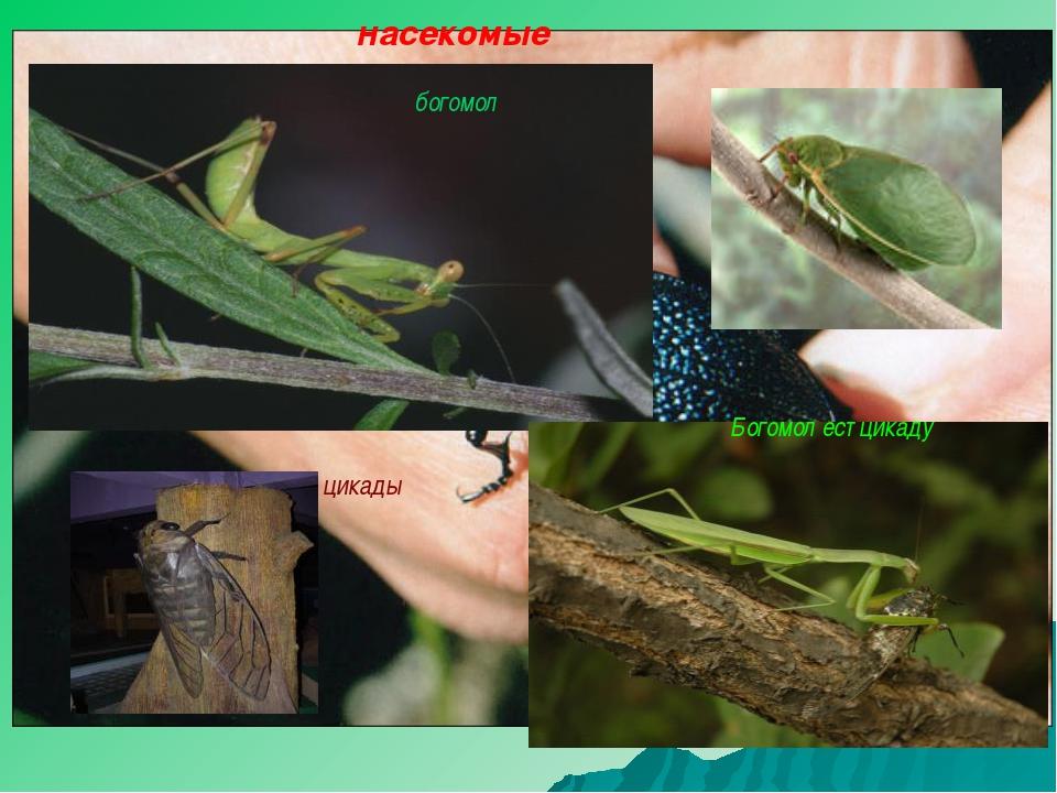 насекомые Жужелица кавказская цикады Богомол ест цикаду богомол