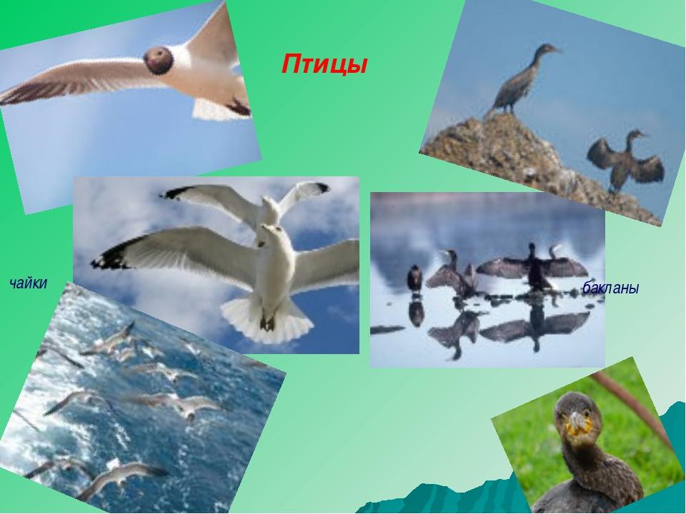 Птицы чайки бакланы